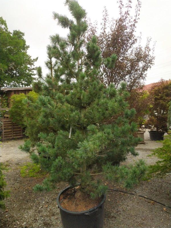 "Pinus parviflora ""Glauca"" (Blaue Mädchenkiefer)"