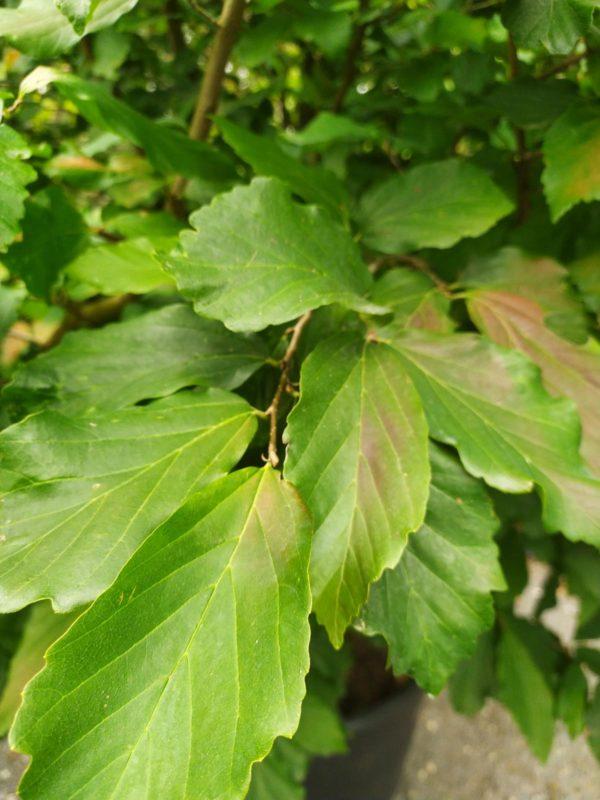 """Parrotia persica """"Vanessa"""" (Eisenbaum)"""