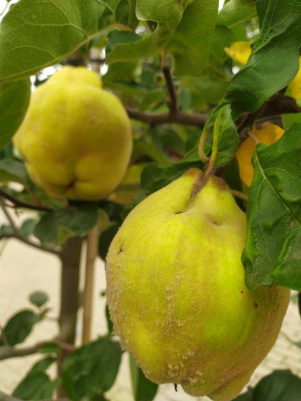 "Cydonia oblonga ""Portugiesische"" (Quittenbaum)"
