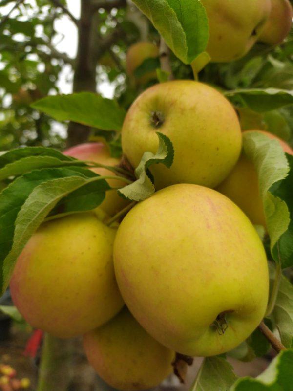 "Malus ""Pinova"" (Apfelbaum)"