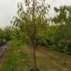 """Prunus avium """"Regina"""" (Süßkirsche)"""