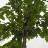 """Prunus avium """"Büttners Rote Knorpelkirsche"""" (Süßkirsche)"""