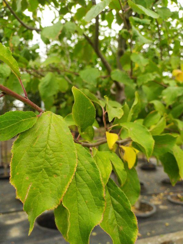 """Prunus dom. """"Hauszwetsche Meschenmoser"""" (Zwetschenbaum)"""