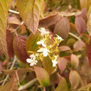 "Viburnum plicatum ""Mariesii"" (Japanischer Schneeball)"
