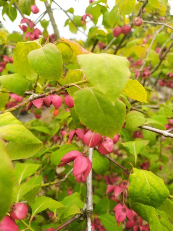Euonymus planipes (Großfrüchtige Pfaffenhütchen)
