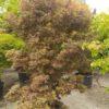 "Acer palmatum ""Skeeter's Broom"" (Fächerahorn)"