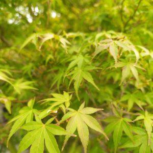 "Acer palmatum ""Katsura"" (Fächerahorn)"