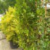 """Prunus lauroc. """"Genolia"""" (Lorbeerkirsche)"""