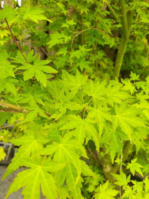 "Acer palmatum ""Orange Dream"" (Fächerahorn)"