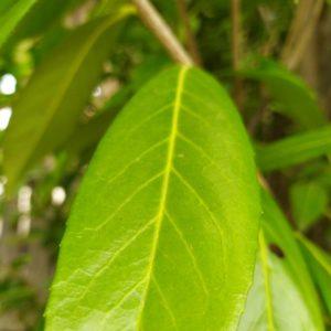 """Prunus lauroc. """"Caucasica"""" (Kaukasische Lorbeerkirsche)"""