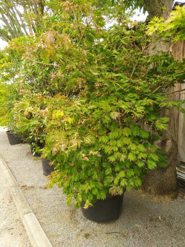 """Acer japonicum """"Aconitifolium"""" (Japanischer Feuerahorn)"""