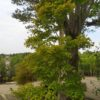 "Acer shirasawanum ""Aureum"" (Japanischer Goldahorn)"