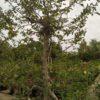 "Malus ""Jonagold"" (Apfelbaum)"