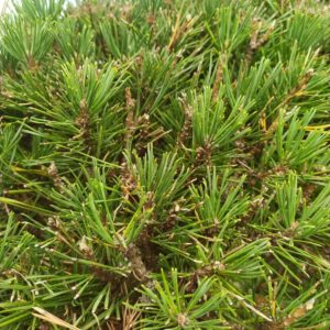 Pinus nigra ssp. nigra (Schwarzkiefer)