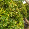 Taxus cuspidata (Japanische Eibe)