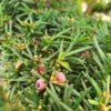 Taxus baccata (Heimische Eibe)