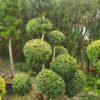 Buxus sempervirens var. arborescens (Hoher Buchsbaum)