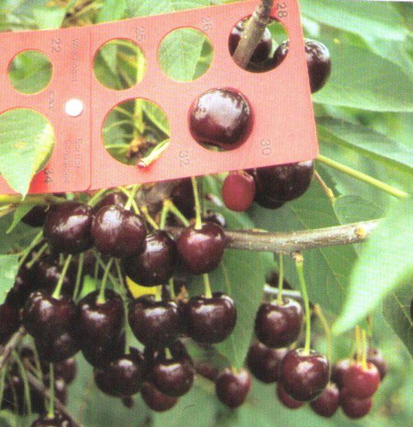 Prunus av. Oktavia
