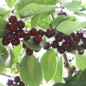 Prunus av. Regina